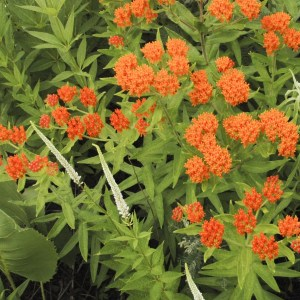 butterfly-weed-asclepias-tuberosa