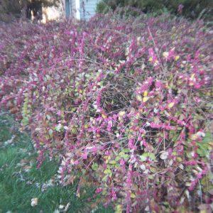 coralberry-symphorocarpos-orbiculatus