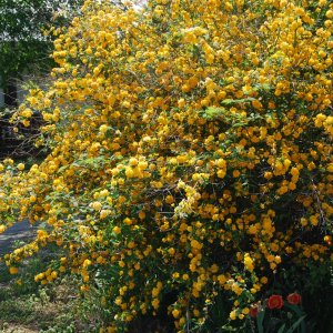 easter-rose-pleniflora-kerria-japonica