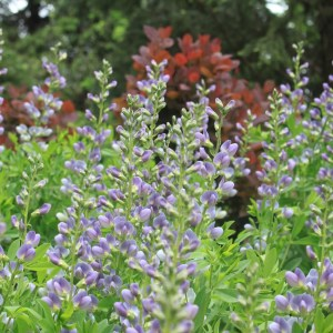 false-indigo-baptisia-alba