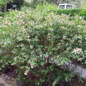 glossy-abelia-abelia-x-grandiflora