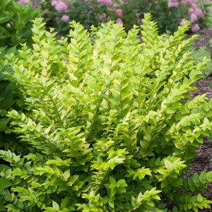 golden-privet-vicaryi-ligustrum