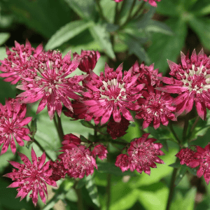 greater-masterwort-ruby-cloud-astrantia-major