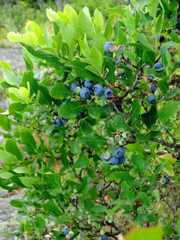 highbush-blueberry-vaccinium-corymbosum
