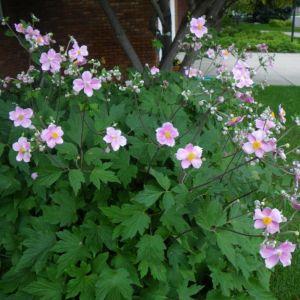 japanese-anemone-september-charm-anemone-x-hybrida