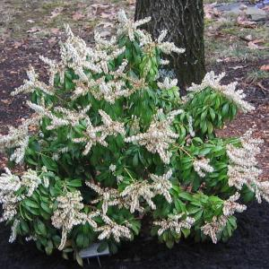 japanese-pieris-mountain-fire-pieris-japonica