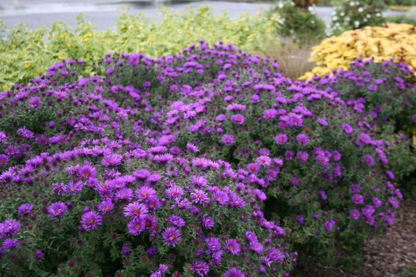 new-england-aster-purple-dome-symphyotrichum-novae-angliae
