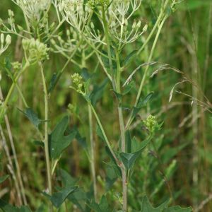 pale-indian-plantain