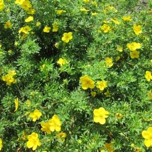 shrubby-cinquefoil-potentilla-fruticosa