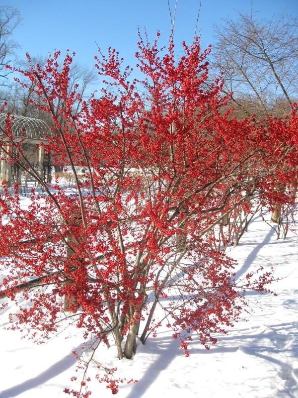 winterberry-holly-illex-vertillata