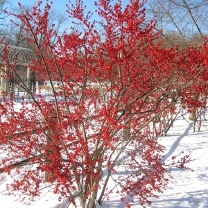 winterberry-holly-illex-vertillata