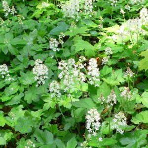 foam-flower-tiarella-cordifolia