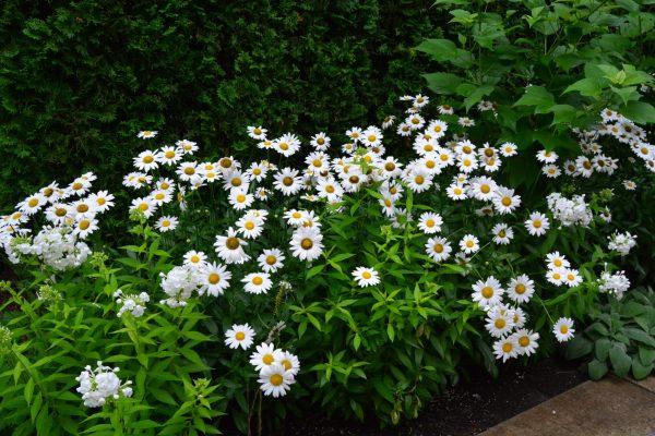 shasta-daisy-becky-leucanthemum-x-superbum
