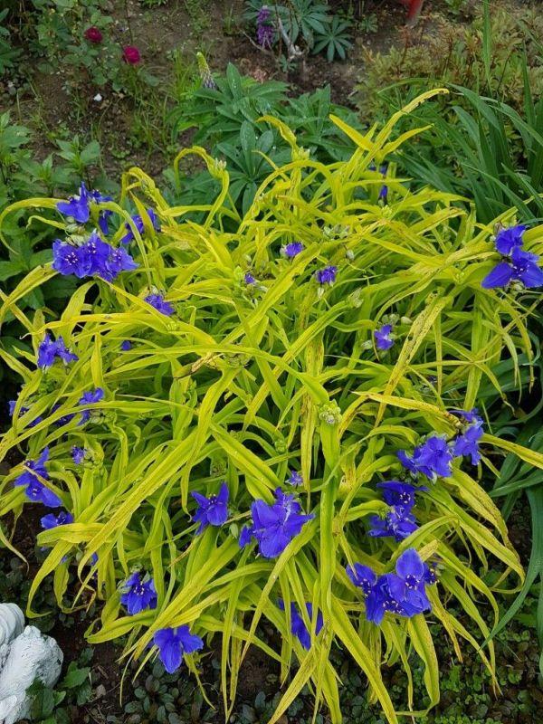 spiderwort-sweet-kate-tradescantia
