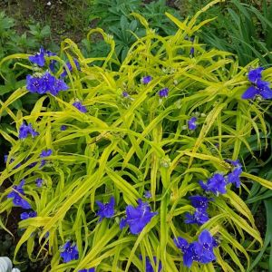 spiderwort-sweet-kate-tradescantia