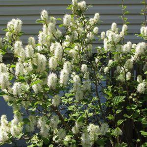 dwarf-fothergilla-fothergilla-gardenii