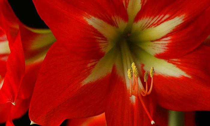 Amaryllis-Bulb_blank