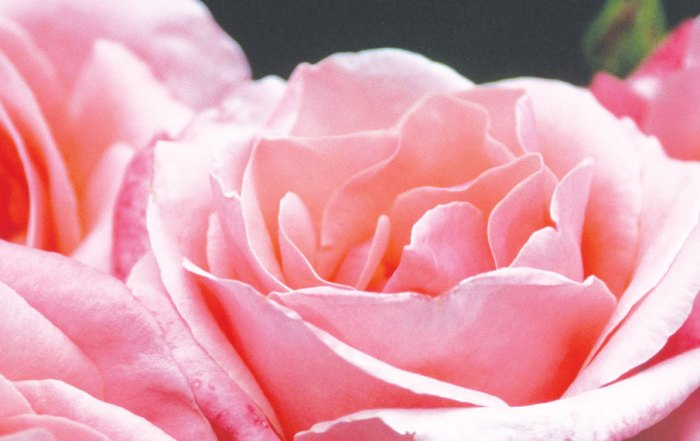 roses_Blank