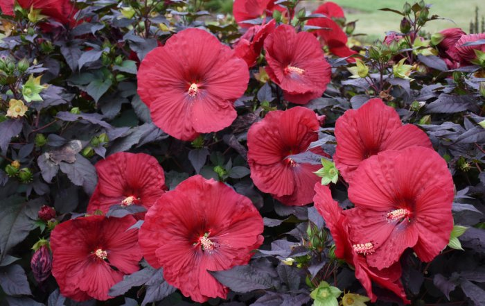 hibiscus_plant of the month
