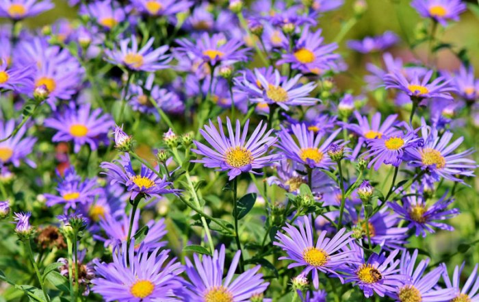 asters-3632294_1920