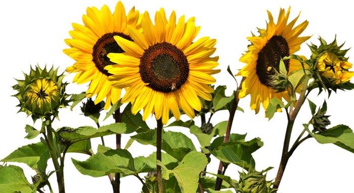 sunflower-2914972_1920