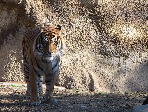 Pacing Tiger Photo by Cynthia Sylvestermouse