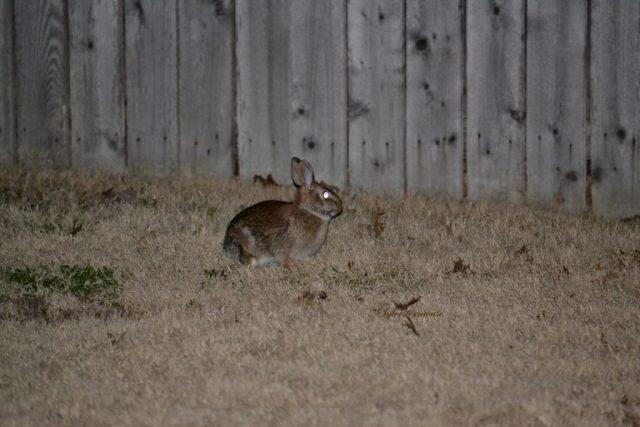 Bunny Rabbit photo by Sylvestermouse
