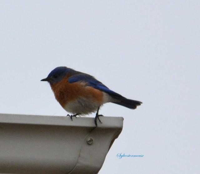 Eastern Bluebird Photo by Sylvestermouse