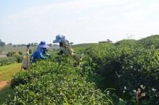 Choui Fong Grünteeplantage