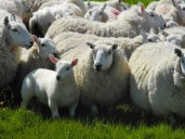 Mehr Schafe als Menschen auf Schottland