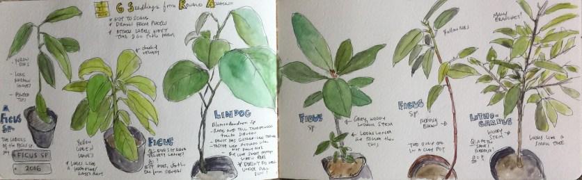 Mystery Ficus