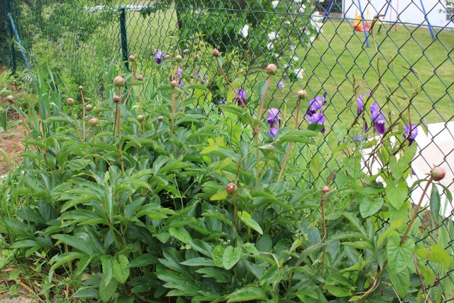 Les fleurs du moment : les iris et bientôt les pivoines.
