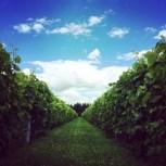 Des vignes superbes