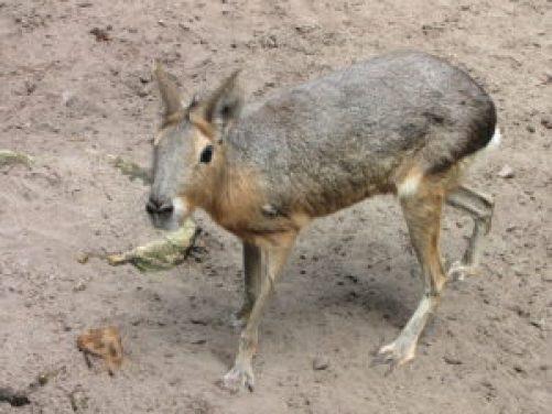 Zoo_d'Arcachon_-_Lièvre_de_Patagonie_-_2014-07-19_-_img_2704