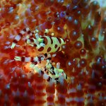 Coleman Shrimp, Halmahera, Indonesia, Symbiosis Diving
