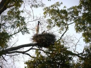 A Jabiru stork on its nest with three chicks