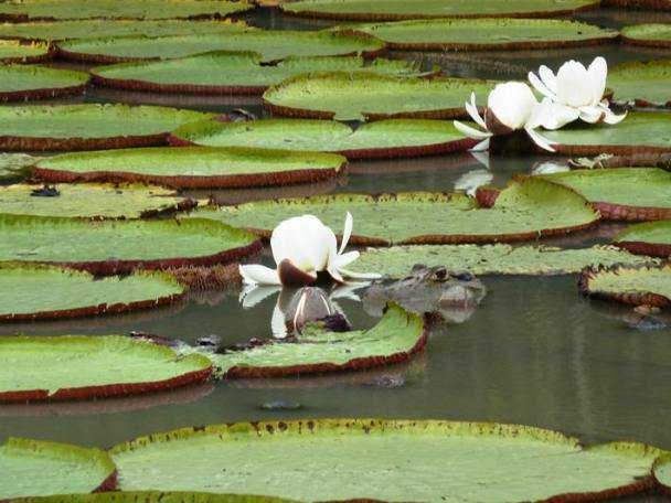 Note the caiman head by the lily flower