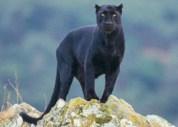 panther-news[1]