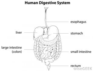 labeled-diagram-of-human-digestive-system