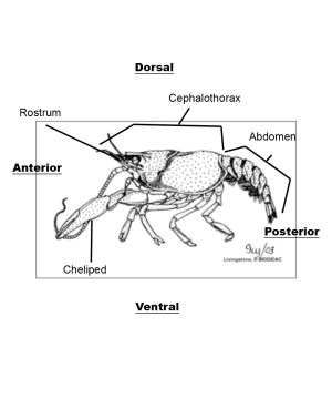 crayfish diagram labelled | Synergy Middle School Science