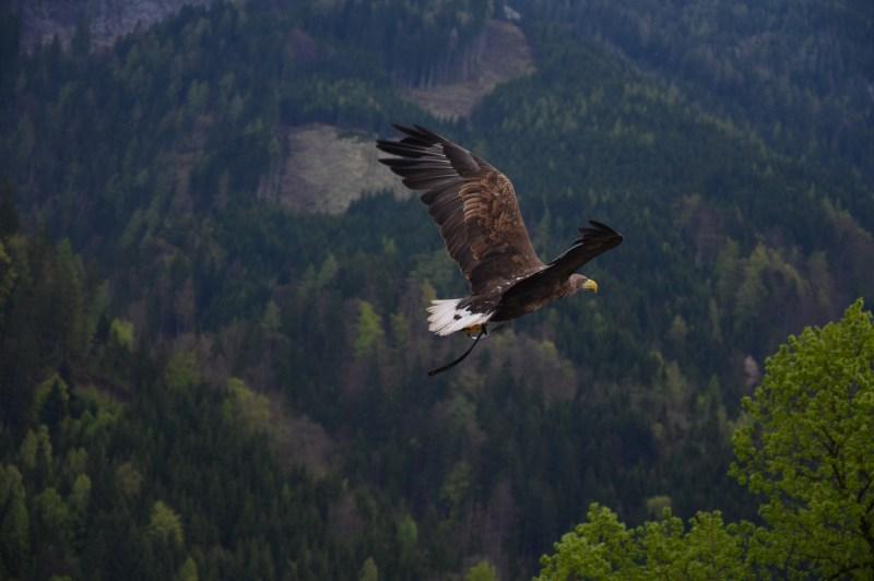 aigle-survolant-une-foret (1)