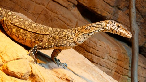a Perentie also known as a Goanna © Christopher Lance with CCLicense