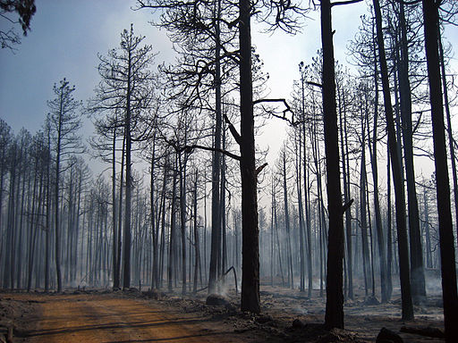 Trees_burned_during_the_Taylor_Fire_(3910060539).jpg