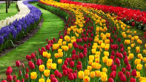 tulip-flower-garden