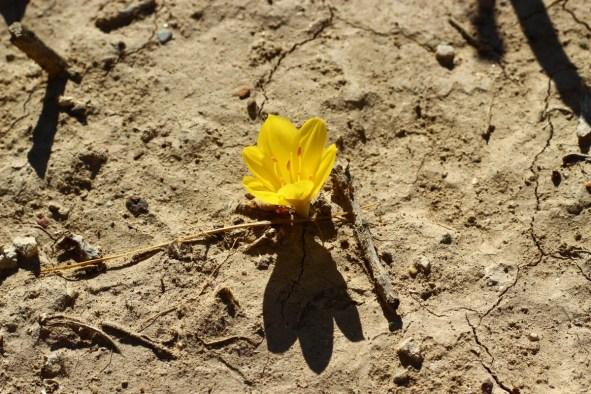 crocus_flower_stand_alone_desert-457481
