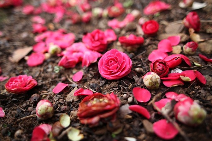 Nature Camellia Spring Flowers Camellia Flower