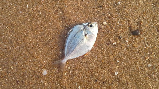 A_Dead_fish_washed_ashore_at_Tenneti_park_beach