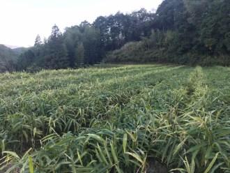大根畑の写真を農家が公開!どうだ!これがダイコンだ!