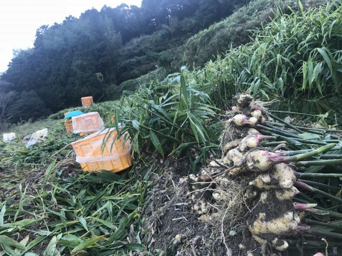 生姜の収穫中(生姜畑)