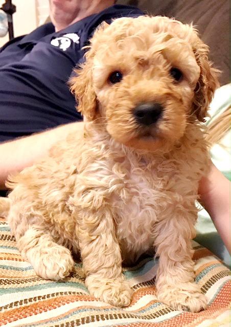 Precious Pets Golden Doodle Love